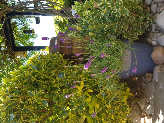 Potted lavender.  (Lavandula angustifolia (Lavender))