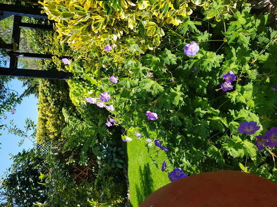 "Geranium cranesbill "" Rozanne"". (Geranium robertianum (Cranesbill))"