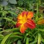 Daylily.....Red Twister. (Hemerocallis)