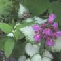8566 lamium maculatum in flower 2019