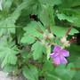 geranium macrorhyzum