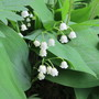 8253 - lily of the valley