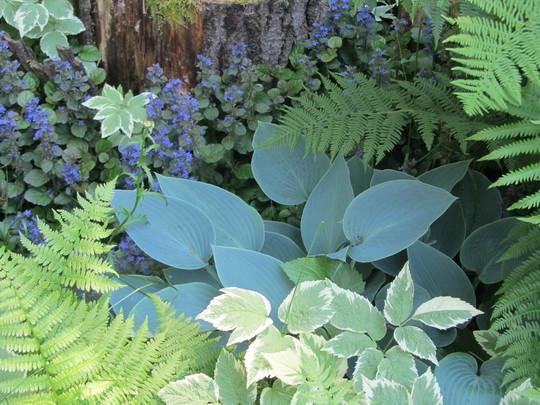 8532 Blue boy Hosta with ajuga, aegopodium and ferns