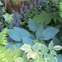 8532 Blue boy Hosta with ajuga, aegopodium and ferns
