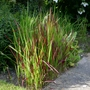 Imperata_cylindrica_red_baron_2019