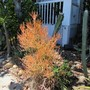 Firesticks. (Euphorbia tirucalli (Milk Bush))