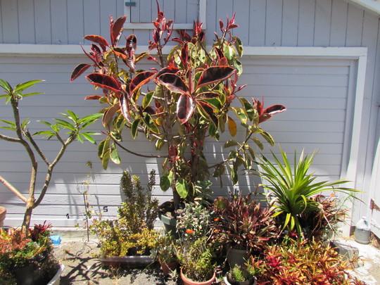 Ruby Ficus update. (Ficus elastica (Assam Rubber))