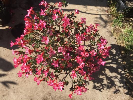 Desert Rose (Adenium obesum) Aerial View (Adenium obesum)