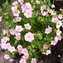 Potentilla_fruticosa_pink_beauty_._2019