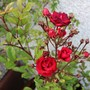 Nice Dwarf Polyantha Rose 'Miss Edith Cavell' for my records