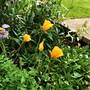 Welsh poppies flowering again.