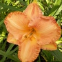 Peach/orange daylily
