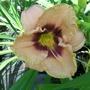 Cream/purple daylily