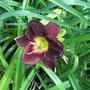Dark red daylily