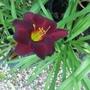 Dark red daylily 2