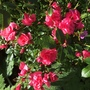 Wiltshire Groundcover Rose