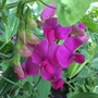 Perennial Sweetpea - Amy's Seed