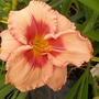 Pink and red daylily