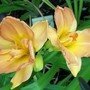 Double peach daylily