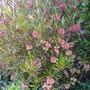Dodonea.....so many flowers. (dodonaea)
