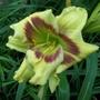 Cream and mauve daylily