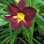 Dark red daylily 4