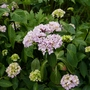 Hydrangea macrophylla 'Nigra' - 2019 (Hydrangea macrophylla)