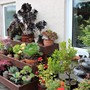 Display of Tender Succulents (Mostly Aeoniums)