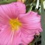 Pink daylily 2