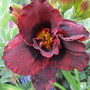 Hemerocallis UNNAMED Dark Double (For my File) (Hemerocallis)