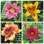 More named Daylilies. (Hemetocallis)