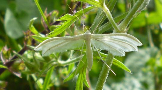 White plume moth