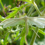 Pterophorus_pentadactyla_white_plume_moth