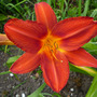 Hemerocallis Jolly Hearts