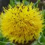 Centaurea macrocephalum (Centaurea macrocephala (Great Golden Knapweed))