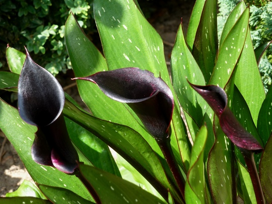 Zantedeschia  almost Black