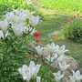 6140 Asiatic Lilies with poppies and monarda for Lindak
