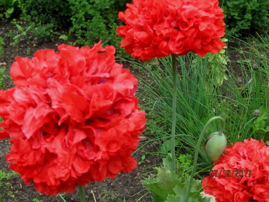 6029 Red Poppies..with split petals.