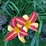 Daylily Frans Hals... (Hemerocallis)