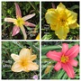 And More Daylilies (Hemerocallis)