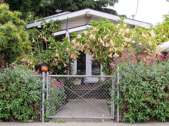 House of Brugmansia. (Brugmansia suaveolens (Maikoa))