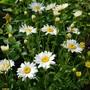 White Daisies.....