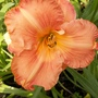 Peach/pink daylily