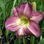 Lavender/mauve daylily.