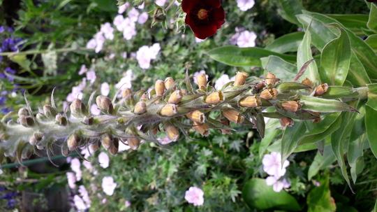 Digitalis parviflora 'milk choclate'