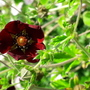 Potentilla Thurberi 'monsieur Rouillard'