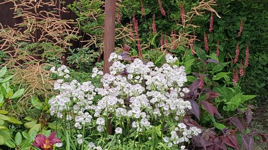 Astrantia Sunningdale variagated with Persicaria Orangefield behind