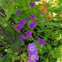 Hardy Geranium Rise and Shine.. (Geranium wlassovianum (Hardy geranium))