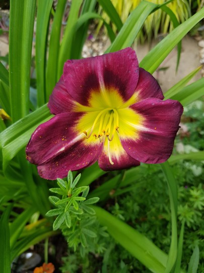 And yet another Daylily!!