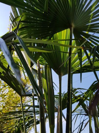 Trachycarpus fortunei (Trachycarpus fortunei (Chusan palm))